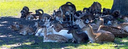 Specie differenti di cervi dei mammiferi, moufflons, cervi di asse fotografia stock libera da diritti