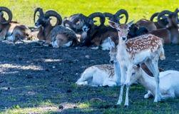 Specie differenti di cervi dei mammiferi, moufflons, cervi di asse immagine stock