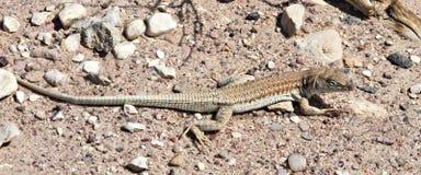 Specie endemiche dal deserto di Negev, Israele della lucertola Immagine Stock Libera da Diritti