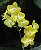 Specie epifitiche tropicali di Ambilis di phalaenopsis dell'orchidea immagini stock libere da diritti