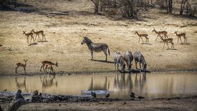 Plains zebra and common impala in Kruger National park, South Af Stock Photography