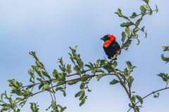 Southern Red Bishop in Mapungubwe National park, South Africa stock images