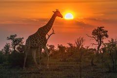 Giraffe in Kruger National park, South Africa Stock Image