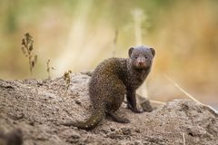 Common dwarf mongoose in Kruger National park, South Africa stock photo