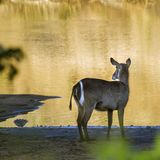 Common Waterbuck in Kruger National park, South Africa. Specie Kobus ellipsiprymnus family of Bovidae stock photos