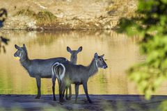 Common Waterbuck in Kruger National park, South Africa. Specie Kobus ellipsiprymnus family of Bovidae stock photography