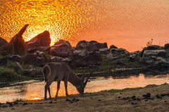 Common Waterbuck in Kruger National park, South Africa. Specie Kobus ellipsiprymnus family of bovidae stock images