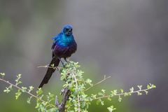Meves`s Glossy Starling in Mapungubwe National park, South Afric. Specie Lamprotornis mevesii family of Sturnidae Royalty Free Stock Photos