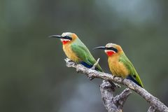White fronted Bee eater in Mapungubwe National park, South Afric. Specie Merops bullockoides family of Meropidae Royalty Free Stock Image