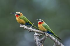 White fronted Bee eater in Mapungubwe National park, South Afric. Specie Merops bullockoides family of Meropidae Royalty Free Stock Photo