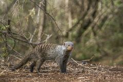 Banded mongoose in Kruger National park, South Africa. Specie Mungos mungo family of Herpestidae Royalty Free Stock Images
