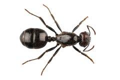 Specie nera Lasius Niger della formica del giardino Fotografie Stock Libere da Diritti
