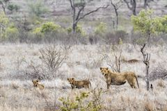 African lion in Kruger National park, South Africa Royalty Free Stock Image