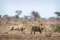 African lion in Kruger National park, South Africa Stock Photos