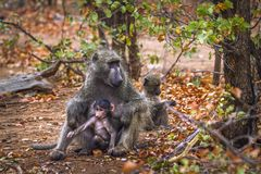 Chacma baboon in Kruger National park, South Africa. Specie Papio ursinus family of Cercopithecidae stock image