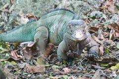 Specie in pericolo di estinzione blu rara di lewisi di Cyclura dell'iguana di Grand Cayman dell'iguana nel suo habitat naturale Fotografia Stock Libera da Diritti