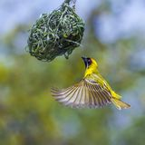 Southern Masked Weaver in Kruger National park, South Africa Royalty Free Stock Photography