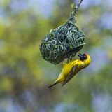 Southern Masked Weaver in Kruger National park, South Africa Royalty Free Stock Photo