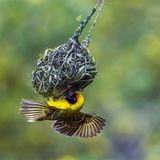 Southern Masked Weaver in Kruger National park, South Africa Stock Photo