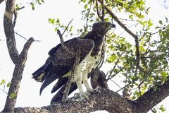Martial Eagle in Kruger National park, South Africa. Specie Polemaetus bellicosus family of Accipitridae stock images