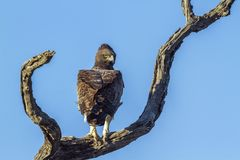 Martial Eagle in Kruger National park, South Africa. Specie Polemaetus bellicosus family of Accipitridae stock photos
