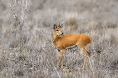 Steenbok in Kruger National park, South Africa. Specie Raphicerus campestris family of Bovidae Stock Photography
