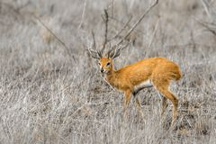 Steenbok in Kruger National park, South Africa. Specie Raphicerus campestris family of Bovidae Royalty Free Stock Photos