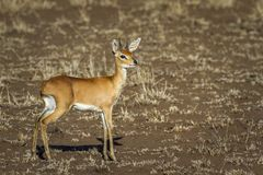 Steenbok in Kruger National park, South Africa. Specie Raphicerus campestris family of Bovidae Stock Images