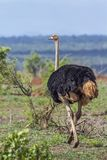 African Ostrich in Kruger National park, South Africa Royalty Free Stock Image