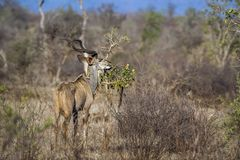 Greater kudu in Kruger National park, South Africa Stock Photography