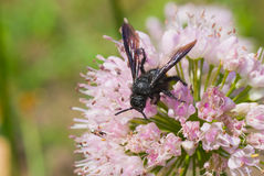 Species of black wasp on the summer flower Stock Photo