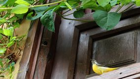 Western Yellow Wagtail from Granada, south of Spain, Europe. royalty free stock images