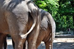 Species of elephants behind Royalty Free Stock Photo