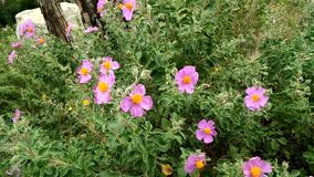 Nature. Plants. Cistus albidus. Grey-cleaved cistus. Bush moved by the wind. Species of flowering plant in the family Cistaceae, with pink to purple flowers stock video footage