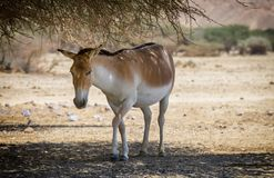 Onager is a brown Asian wild donkey Equus hemionus. This species inhabits nature reserve park near Eilat, Israel Stock Photography