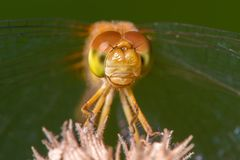 Species of meadowhawk dragonfly - extreme closeup of face and eyes -  taken at the Wood Lake Nature Center in Minnesota.  stock photo