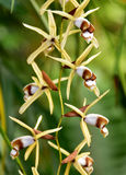 Species orchid Pholidota chinensis Stock Photography