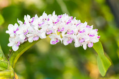 The species orchid (Rhynchostylis gigantea flower). Stock Photography