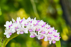 The species orchid (Rhynchostylis gigantea flower) on tree. Royalty Free Stock Photos