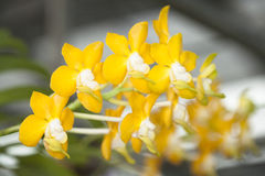 Species orchid. Royalty Free Stock Photo