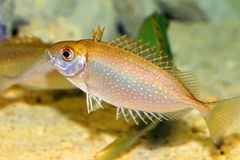 Species of rabbitfish Stock Photography