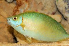 Species of rabbitfish Royalty Free Stock Photo