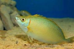 Species of rabbitfish Stock Photo