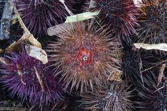 A species of sea urchin, purple sea urchin. Paracentrotus lividus, a species of sea urchin, purple sea urchin closeup Stock Images