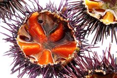 A species of sea urchin, purple sea urchin. Paracentrotus lividus, a species of sea urchin, purple sea urchin closeup, white background Stock Photography