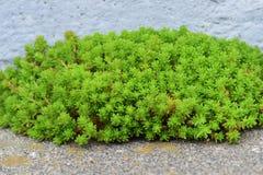Species of stonecrop. Plants that grow on rocks `Species of stonecrop Stock Image