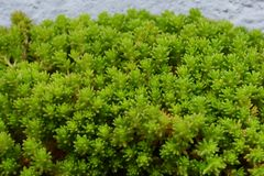 Species of stonecrop. Plants that grow on rocks `Species of stonecrop Royalty Free Stock Photos
