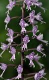 Species van orchidee één van de grootste botanische families Royalty-vrije Stock Foto's