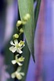 Species van orchidee één van de grootste botanische families Royalty-vrije Stock Foto