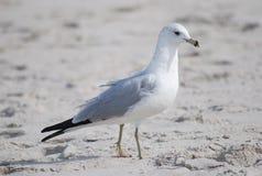 Speciesring - gefactureerde Meeuw, vogel Stock Afbeelding